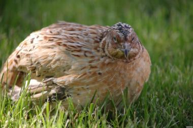Jaja inkubacyjne przepiórcze