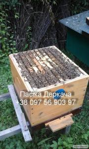Rodziny pszczele  Karpacka