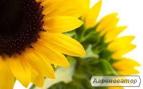 Nasiona słonecznika, gibrid forvard