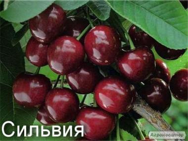 Sadzonki czereśni, silviya kolonovidnaya