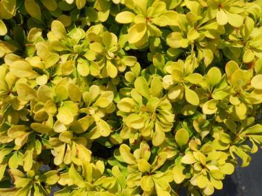 Berberys 'Tiny Gold'