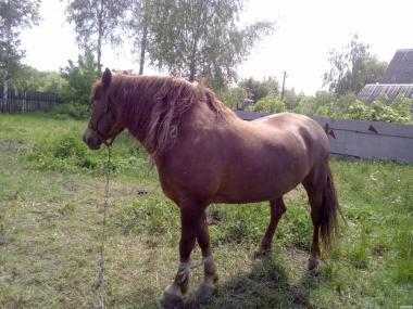 Konie ciężkie  Nowoaleksandrowska