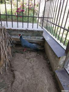Kaczki  Piżmówka