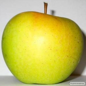 Sadzonki jabłoni, golden delishes