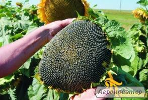 Nasiona słonecznika, gibrid neo