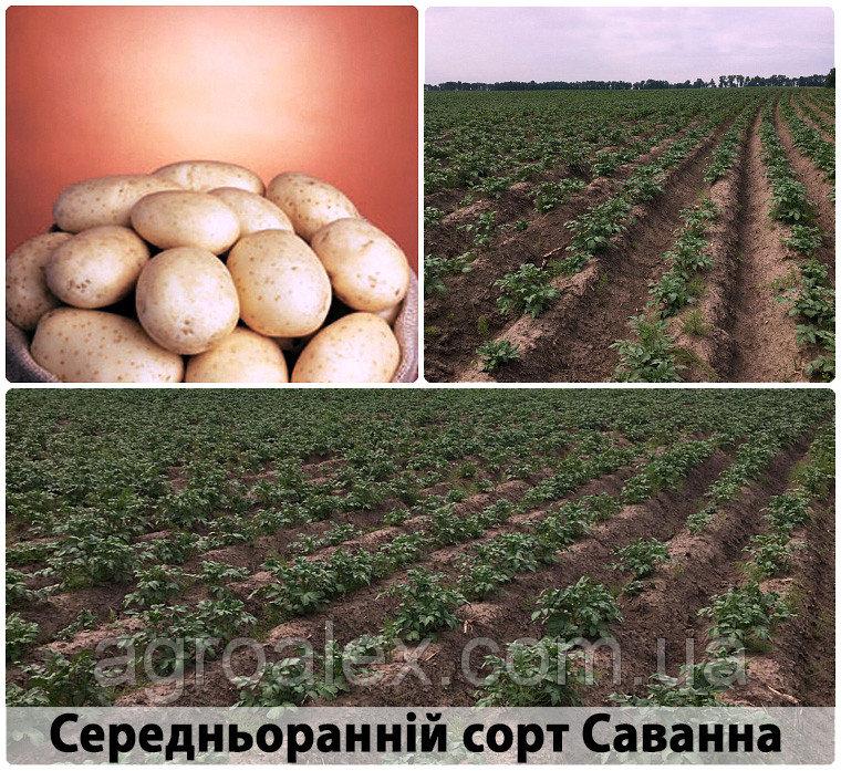 Sadzeniaki ziemniaków, sante