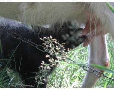 Mleko (świeże) kozie