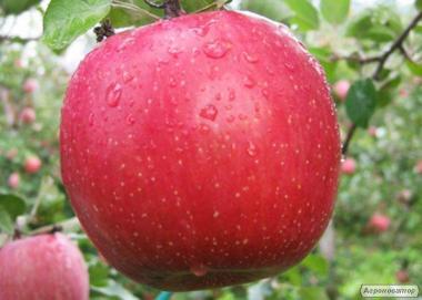 Sadzonki jabłoni, kariot-7