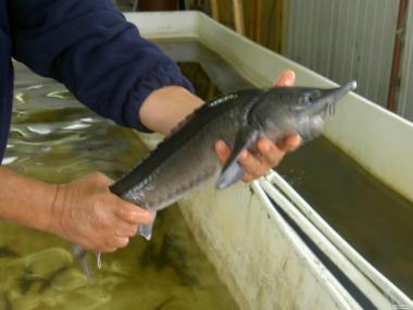 Ryby słodkowodne Jesiotr