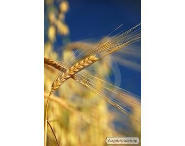 Nasiona pszenicy ozimej, smuglyanka
