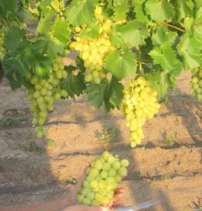 Deserowa odmiana winorośli podarok zaporozhyu