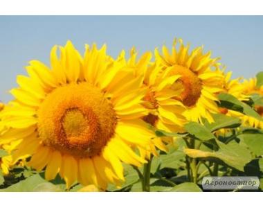 Słonecznik hybrydowy