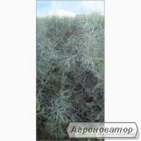 Nasiona rzepaku ozimego, gibridy lembke