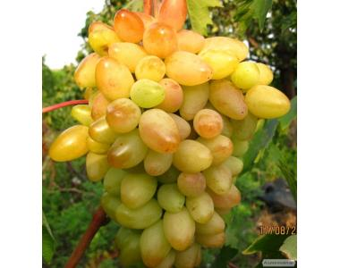Sadzonki winogron, diaspory, kishmish veles