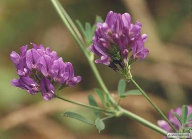 Nasiona lucerny, vladislava