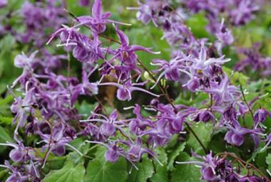 Epimedium wielkokwiatowe