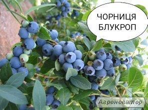 Sadzonki jagody, blyukrop