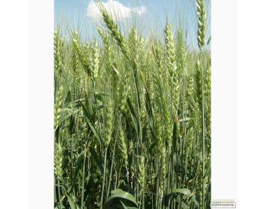 Nasiona pszenicy ozimej, antonovka