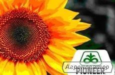 Nasiona słonecznika,  Рionеer