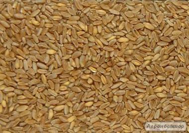 Nasiona pszenicy ozimej, tavrida
