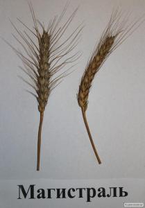 Nasiona pszenicy ozimej, midas