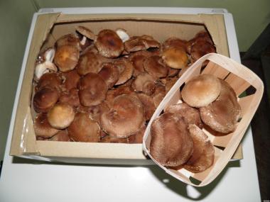 Świeże grzyby Twardnik japoński (Shiitake)