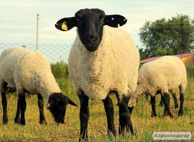 Owce  Suffolk