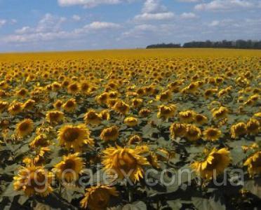Nasiona słonecznika, dozor