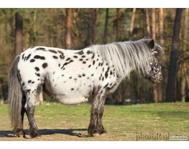 Kucyki  Mini appaloosa