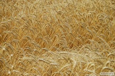 Nasiona pszenicy ozimej, missiya odesskaya