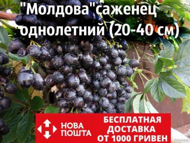 Sadzonki winogron, diaspory, moldova