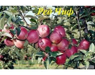 Sadzonki jabłoni, red chif