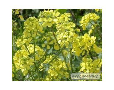 Nasiona gorczycy sarepskiej, tavriya