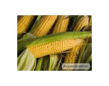 Nasiona kukurydzy, orzhica