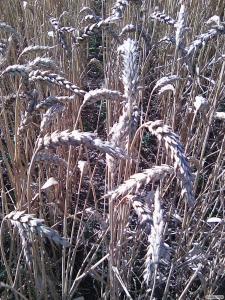 Nasiona pszenicy ozimej