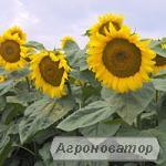 Nasiona roślin przemysłowych