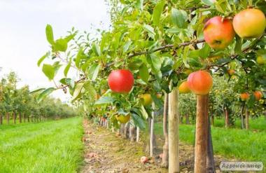 Sadzonki jabłoni, gala