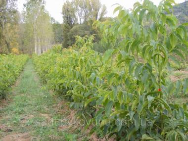 Sadzonki owocowych drzewek