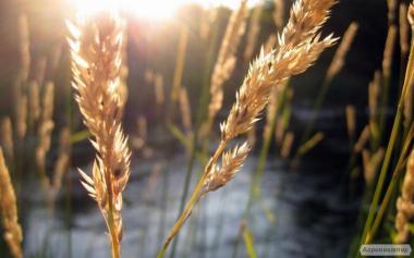 Nasiona kukurydzy, krasnodarskiy saharnyy 250