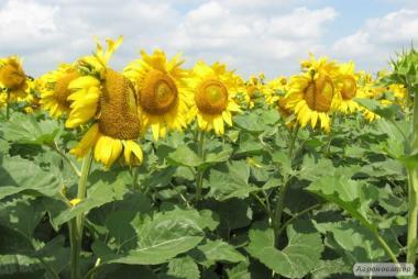 Nasiona słonecznika, aytana