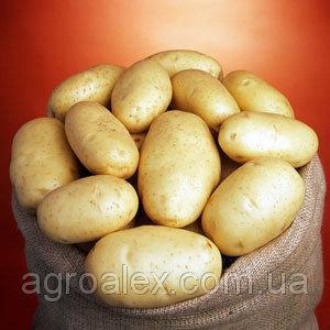 Sadzeniaki ziemniaków, bettina
