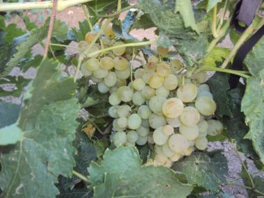 Deserowa odmiana winorośli vostorg