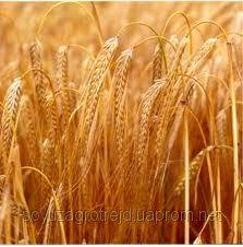 Nasiona pszenicy ozimej, staleva
