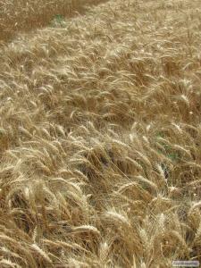 Nasiona pszenicy ozimej, ermak