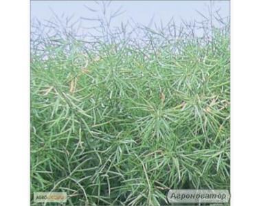 Nasiona rzepaku ozimego, atlant