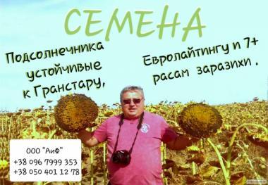 Nasiona słonecznika, gibrid  LG 5550