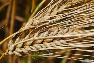 Nasiona roślin pastewnych