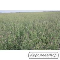 Nasiona lucerny, regina
