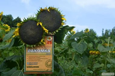 Nasiona słonecznika, lakomka