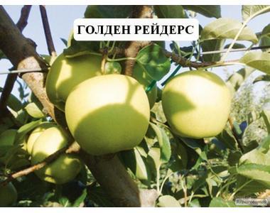 Sadzonki jabłoni, golden reyndzhers